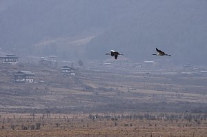 Black Neck Cranes in Phobjikha