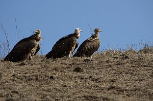 Himalyan Vulture