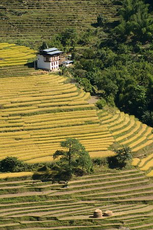 Paddy fields in Punakha
