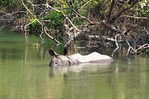 Indian rhino in creek
