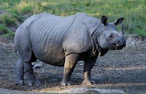 Indian rhino