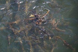 Fish in Bhutanese rivers