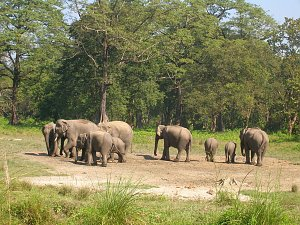 Wild Elephants at Jaldapara