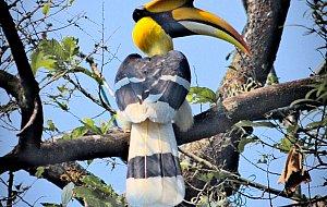 Great Hornbill in Manas