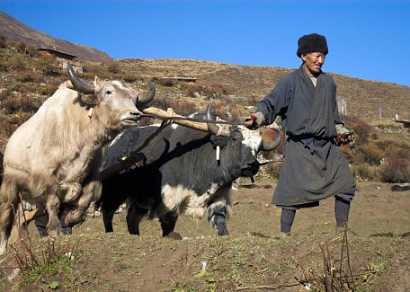 Ploughing field with yaks in Laya