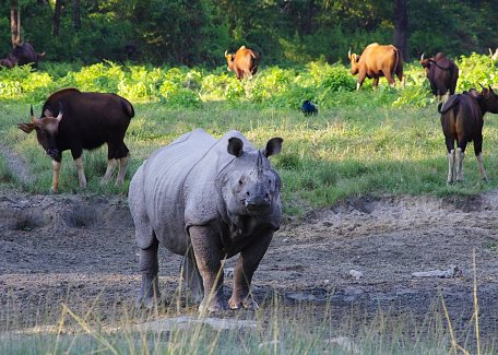 Indian rhino and gaurs