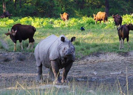 Indian rhino and gaurs