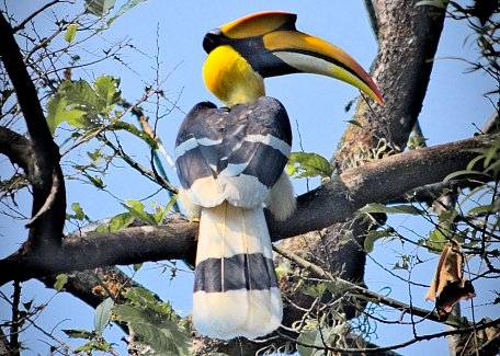 Great Hornbill in Manas
